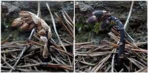 Cliquer pour agrandir. Un plant de Monotropsis odorata avec ses bractées-camouflage, à gauche, et sans, à droite. Les fleurs pourpres se détachent de l'environnement brun clair. © M. R. Klooster