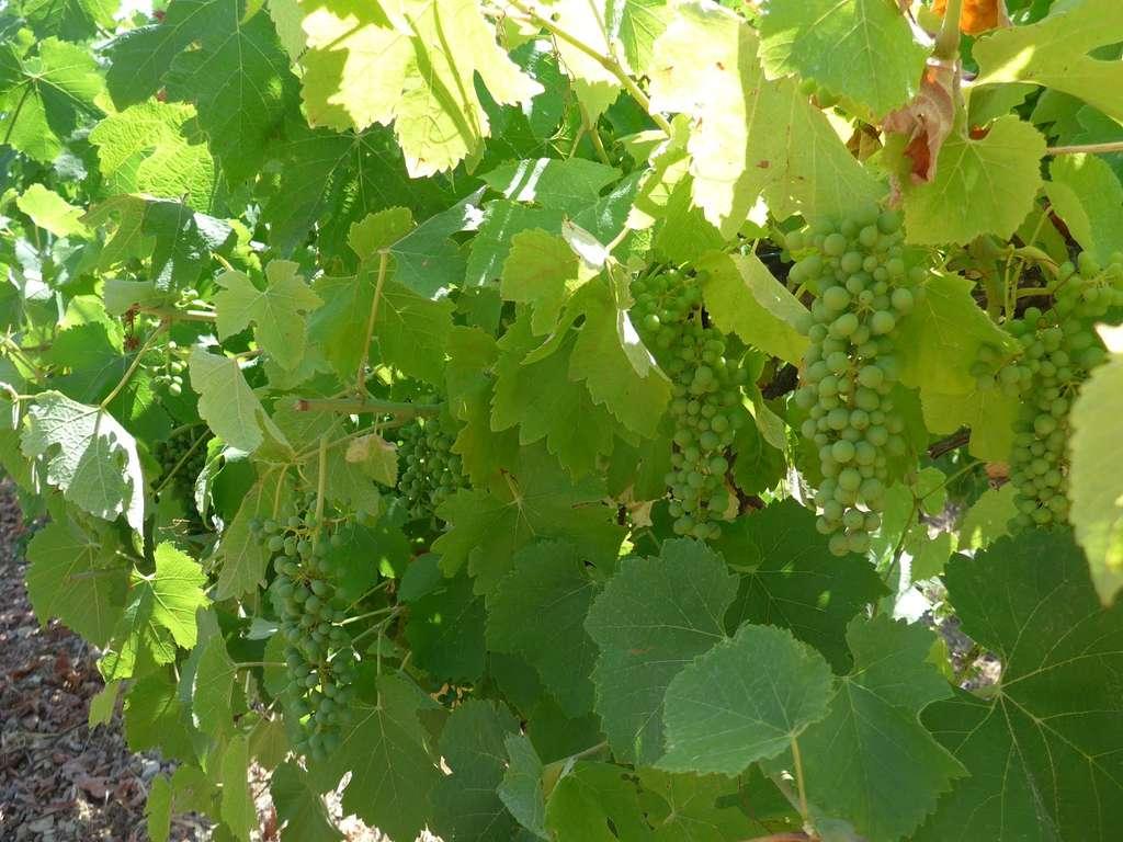 L'enquête suggère que les meilleurs vins coïncident avec les années aux printemps plus pluvieux que d'ordinaire et aux étés chauds et plus secs en fin de saison. © Elizabeth Wolkovich, université d'Harvard