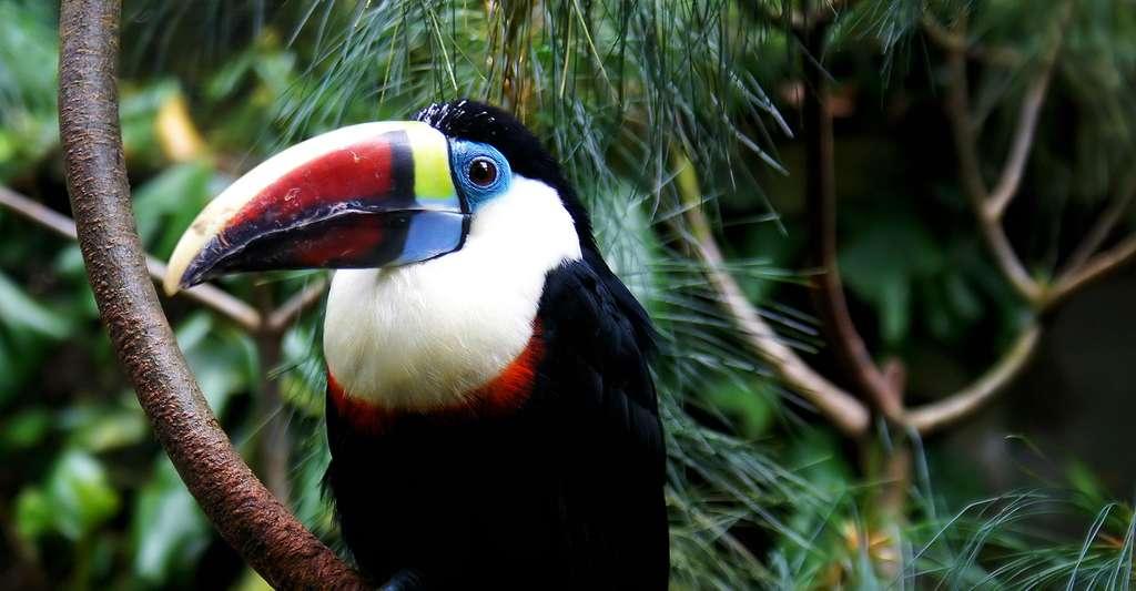 Le toucan à bec rouge (Ramphastos tucanus) est très présent en Guyane. © Domdomegg, CC by 4.0