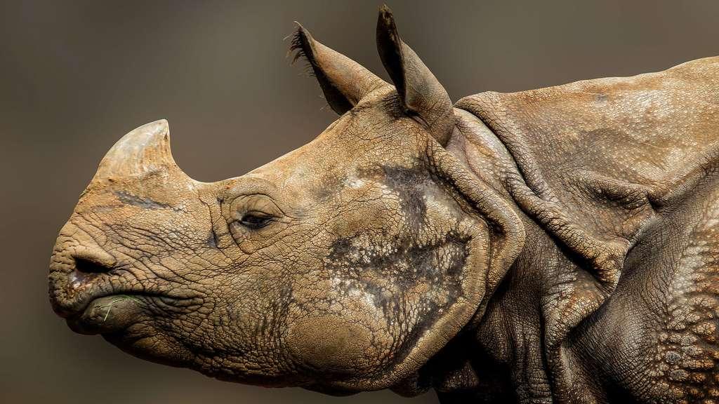 Le rhinocéros, un animal au poid impressionnant