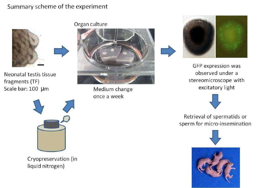 Schéma de l'expérience réalisée par les chercheurs japonais. Le tissu testiculaire (congelé ou non) a été placé dans un milieu de culture. Les spermatozoïdes, dont la présence a été vérifiée par fluorescence, ont été utilisés pour une micro-injection d'ovocytes, ce qui a donné naissance à des souriceaux en pleine santé. © Université de Yokohama