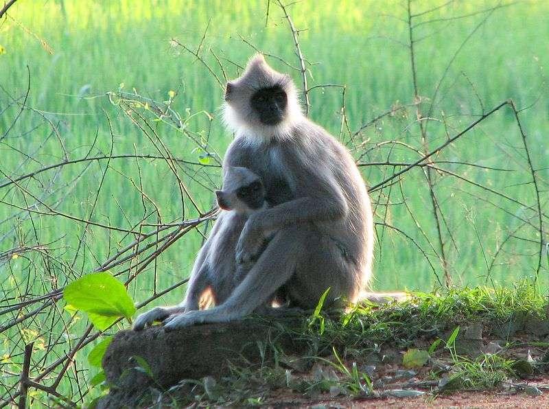 Entelle d'Hanuman et son petit. © Bernard Gagnon, GNU FDL Version 1.2