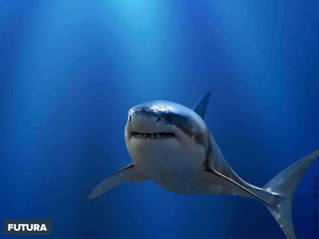 Fond D écran Grand Requin Blanc