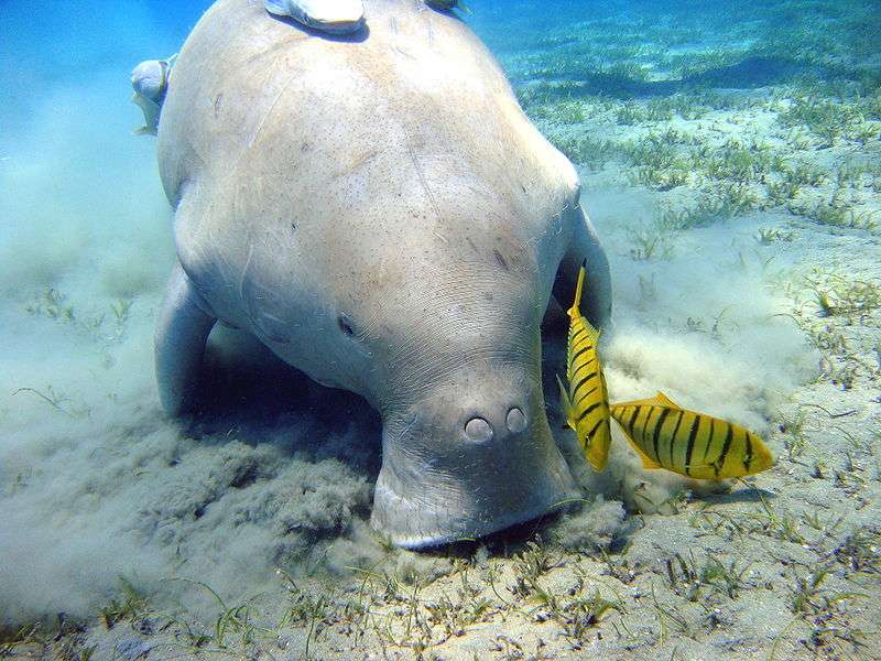 Dugong et parasites mutualistes. © Julien Willem, GNU FDL Version 1.2