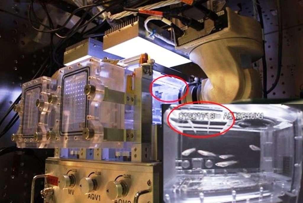 Une vue du module AQH avant son départ pour l'ISS. En zoom, en bas à droite, on distingue plusieurs couples de médakas. Toutes les conditions sont présentes pour qu'ils puissent se reproduire. © Jaxa