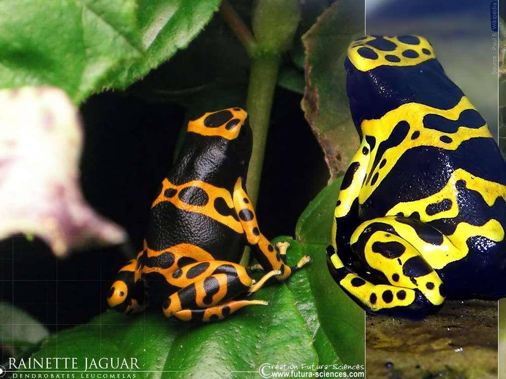 Rainette jaguar