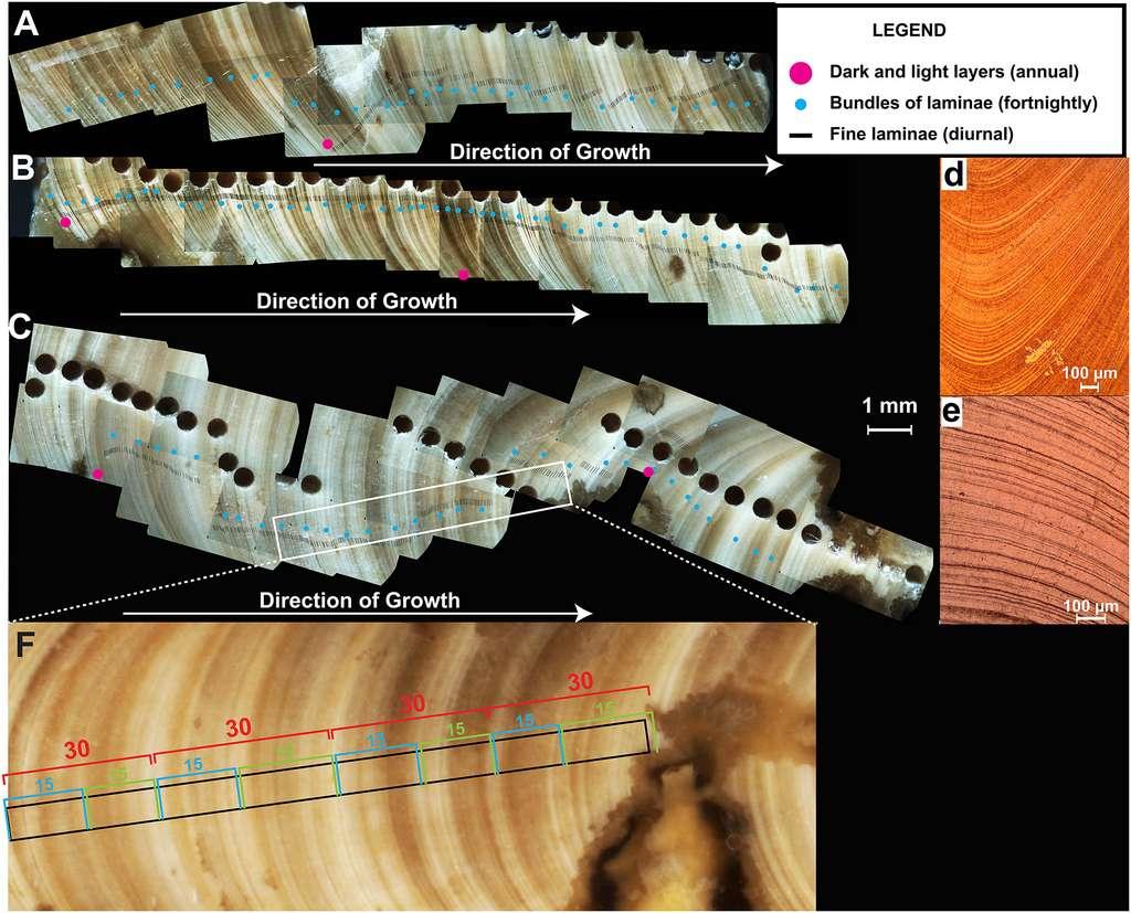 Le nombre d'anneaux de croissance et leur largeur (fines lamelles noires) permettent d'estimer la durée des journées. La distance entre les points rouges représente une année de croissance (sur la base des isotopes d'oxygène). © Niels de Winter et al, Paleoceanography and Paleoclimatology, 2020