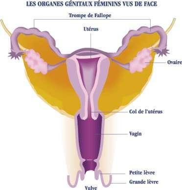 Position du col de l'utérus dans l'appareil génital féminin. © DR