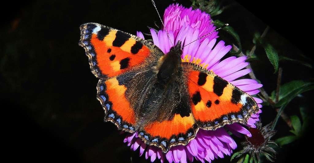 Papillon paon. © Kapa65 CCO