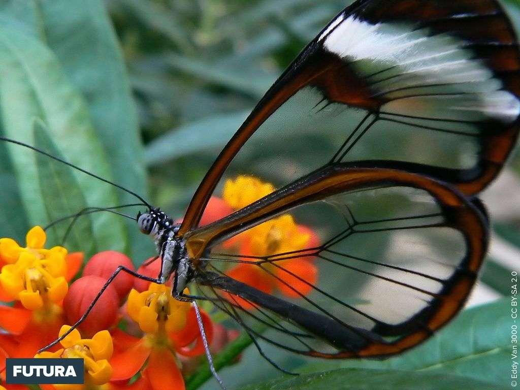Papillon d'Amérique du Sud