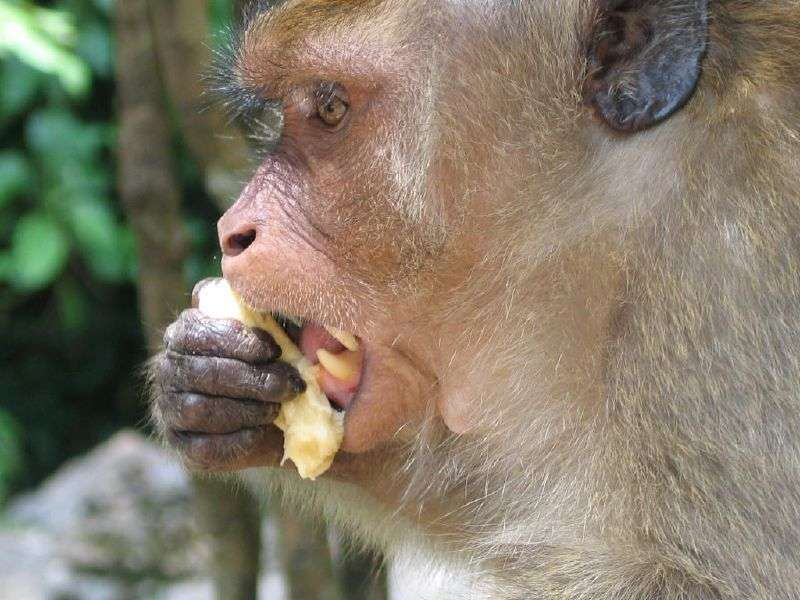 On distingue bien les canines du macaque. © 13bobby, CC by 2.0