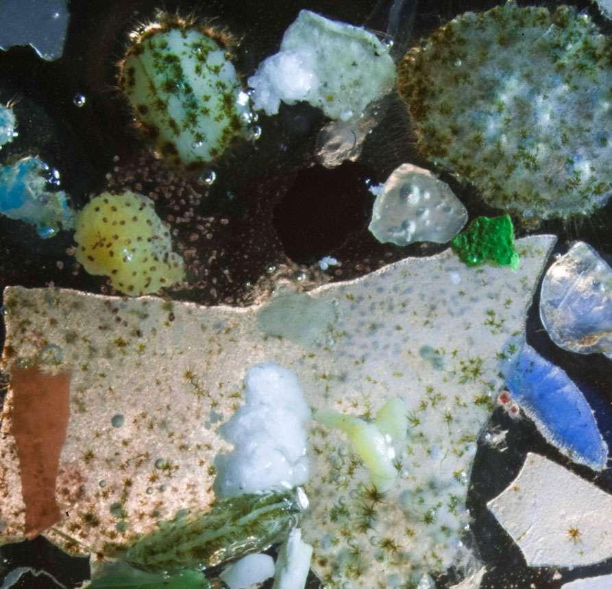 La précédente mission de Tara Expéditions visait l'étude du plastique en mer Méditerranée. On voit ici de minuscules fragments parmi du zooplancton. © Christian Sardet, Tara Expéditions