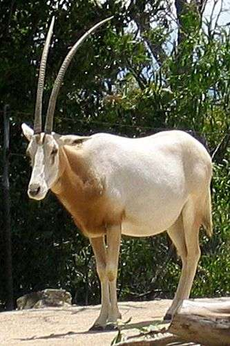 Oryx dammah. Licence Commons