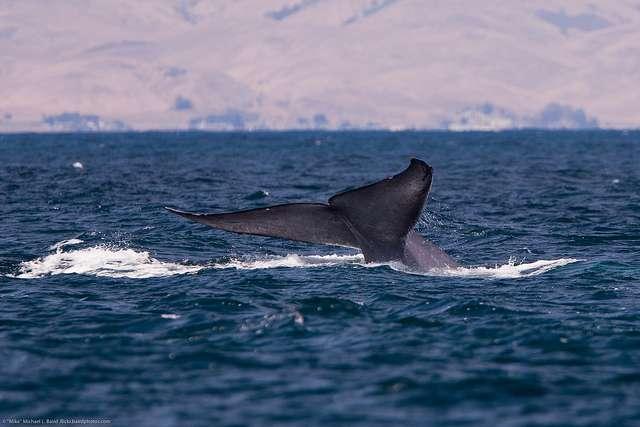 Pourquoi les Cétacés, comme cette baleine bleue, sont-ils si nombreux à présenter des coups de soleil ? © Mikebaird, Flickr, CC by 2.0