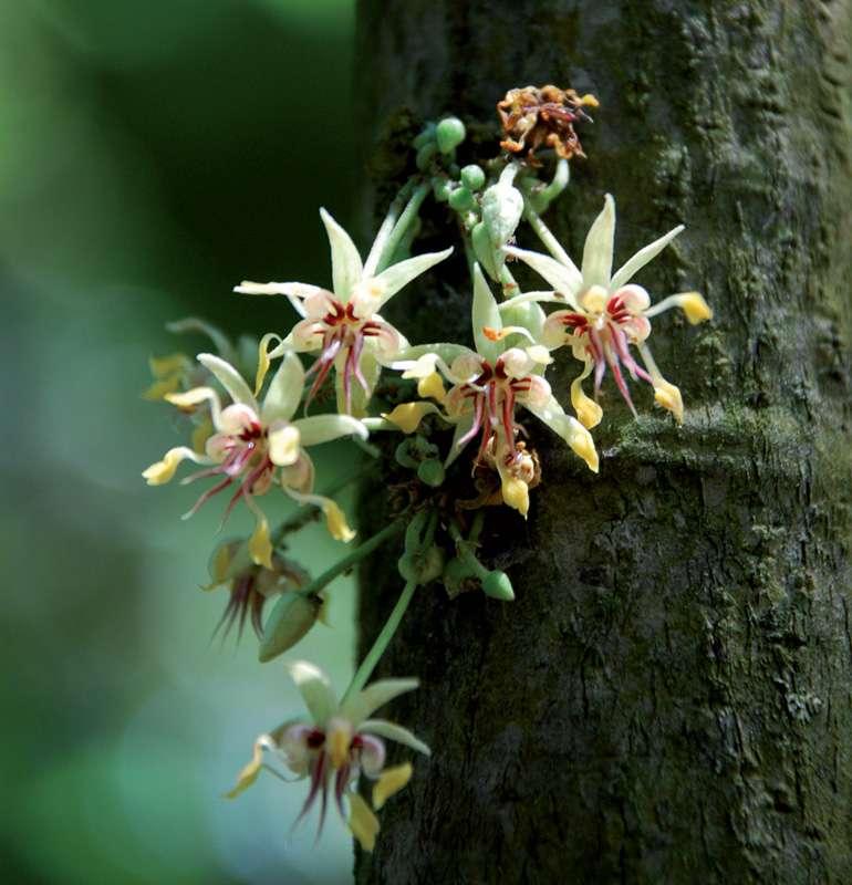 Coussinet floral et fleurs de cacaoyer. © C. Lanaud