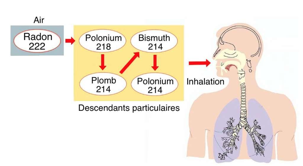 Le radon et ses descendants pénètrent dans les poumons par inhalation. Ils s'y déposent et irradient les tissus, ce qui peut causer des dommages allant jusqu'au cancer. © M.B. d'après doc hseni.gov.uk
