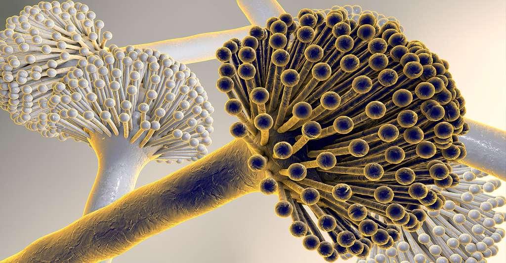 Photo macroscopique de champignons Aspergillus Niger. Ces champignons apparaissent sous la forme d'une moisissure noire sur les fruits et légumes. Ils produisent les aflatoxines qui sont source de réactions allergiques. © Kateryna Konn, Shutterstock