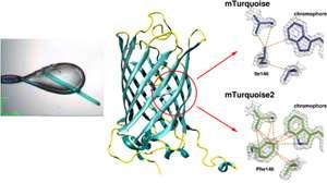 Cristal de CFP utilisé dans l'étude (échelle : 100 microns) et zoom sur la partie de la protéine proche du chromophore montrant l'amélioration de stabilisation dans mTurquoise2 qui explique sa meilleure efficacité de fluorescence. © D. von Stetten, A. Royant & Nature Communications