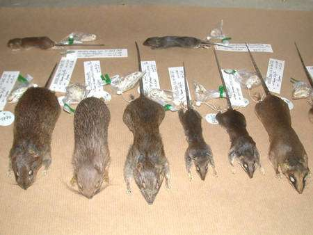 Parfois certaines recherches nécessitent de sacrifier les petits mammifères, comme lors d'études de parasitologie. Dans ces cas, les rongeurs et opossums sont ramenés au laboratoire, puis transmis au Museum pour y intégrer les collections scientifiques © François Catzeflis - Tous droits réservés