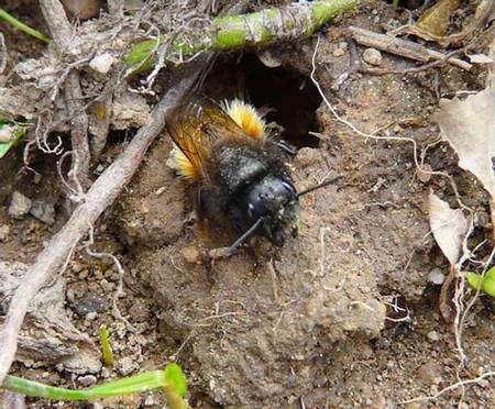 Les osmies (ici, Osmia cornuta), par exemple, sont des abeilles précoces qui émergent déjà en mars lorsque les conditions climatiques le permettent, avant même que les colonies d'abeilles domestiques ne soient reconstituées. Elles sont d'excellentes pollinisatrices des fruitiers précoces. Cette abeille a été photographiée dans une « carrière » d'où elle extrait les boulettes de glaise nécessaires à l'occultation des alvéoles. © Patrick Straub