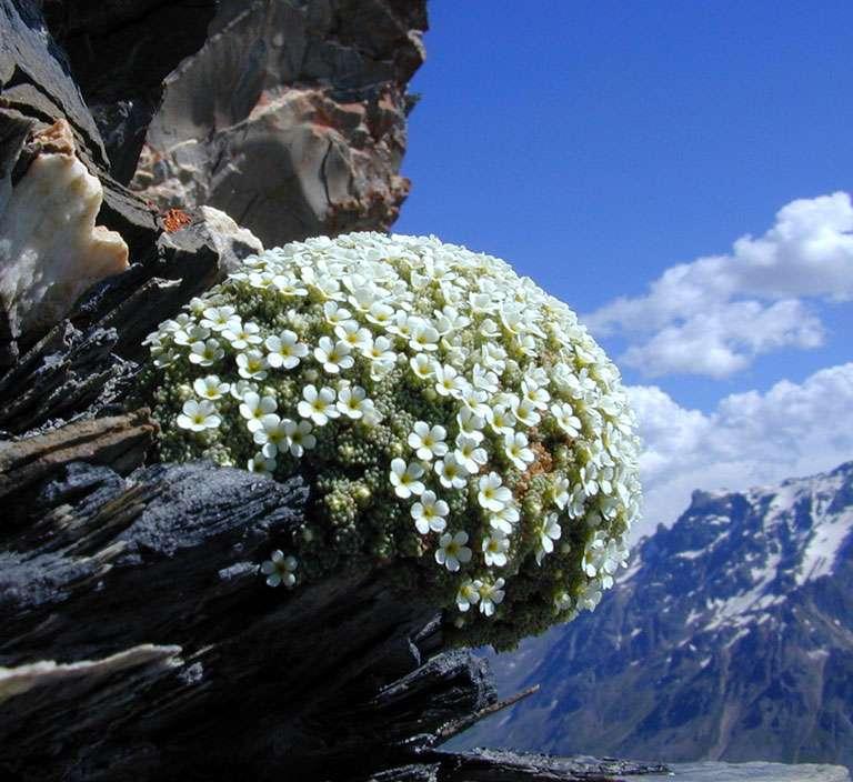 """Androsace helvétique """"Primulaceae"""","""
