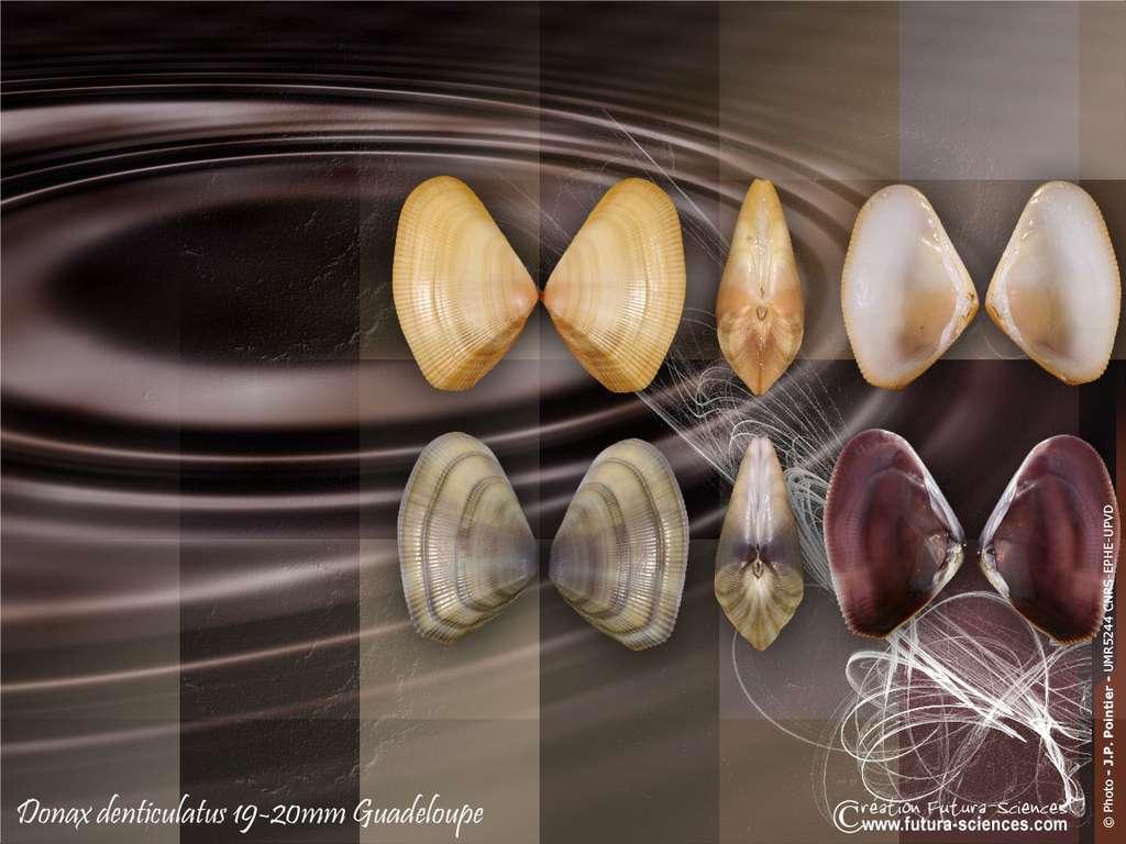 Coquillage Donax denticulatus