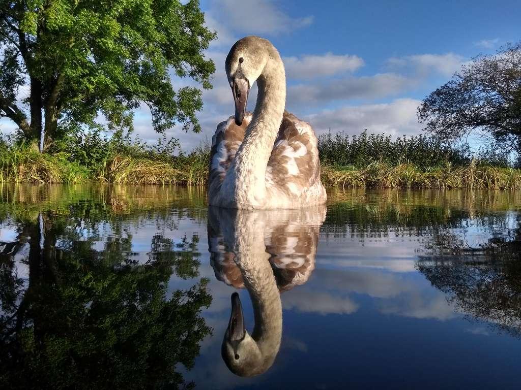 Cygne tuberculé (Cygnus olor). © Bird Photographer of the Year, Adam Lake (Royaume-Uni)