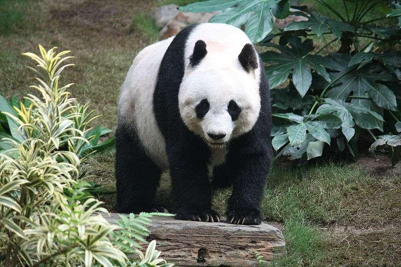 Le panda géant (Ailuropoda melanoleuca) fait partie des ursidés. © J. Patrick Fischer, CC by-SA 3.0