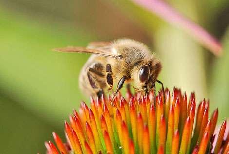 Apis Mellifera, abeille domestique. © Ernie, Domaine public