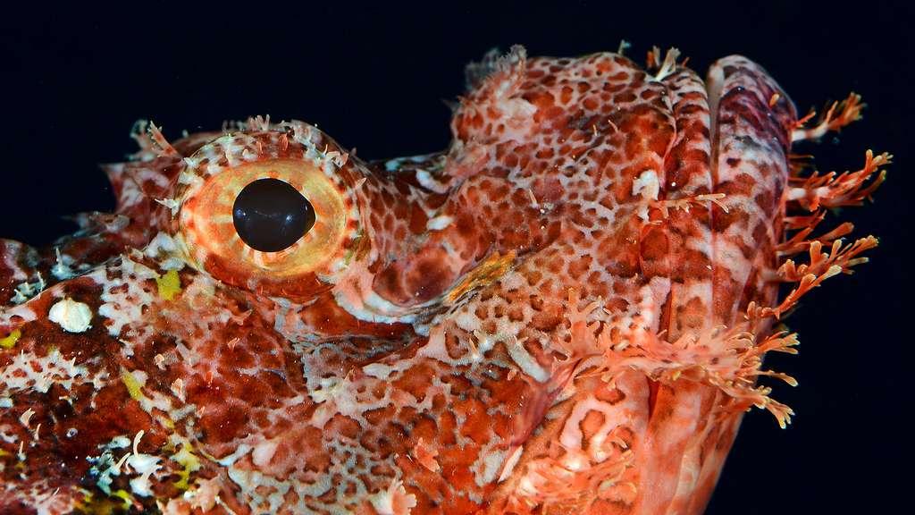 La rascasse, un scorpion de mer