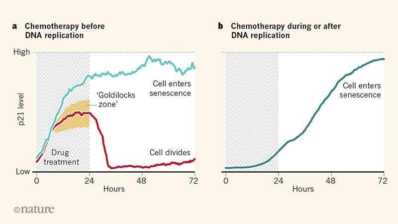 L'effet des traitements inoculés avant, pendant ou après la division cellulaire. © Nature