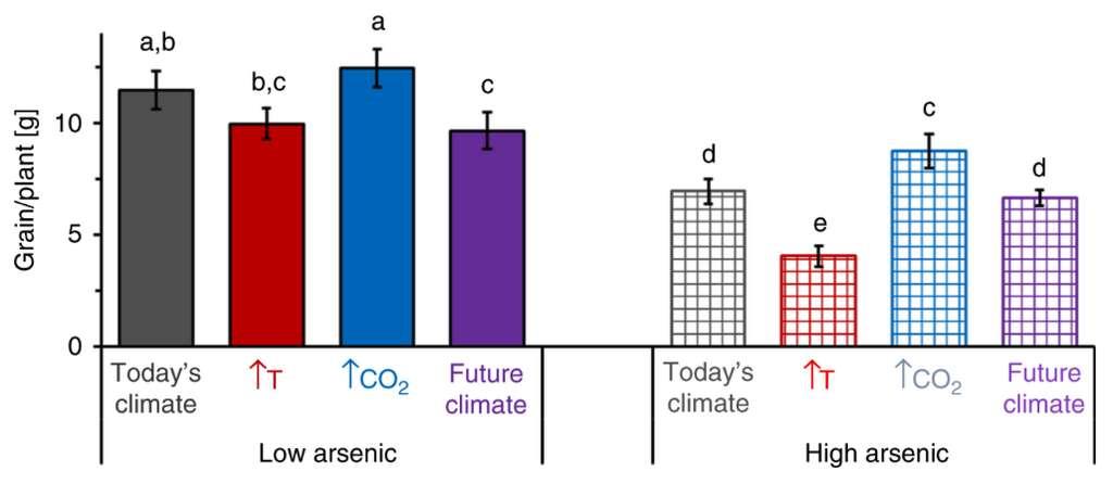 L'impact du réchauffement climatique et de l'arsenic sur le rendement du riz. Barres pleines : variations du rendement avec des faibles teneurs en arsenic (7,3 mg/kg). Barres quadrillées : variations du rendement avec des fortes teneurs en arsenic (24,5 mg/kg). © E. Marie Muehe et al, Nature Communications, 2019.