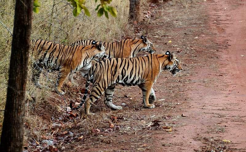 Tigresse du Bengale et ses deux jeunes. © Brian Gratwicke, Wikipédia, CC BY 2.0