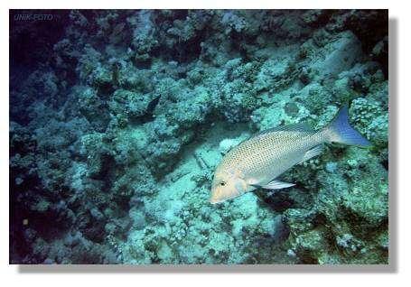 Le bec de cane (Lethrinus nebulosus) est un beau poisson dont la taille va de 50 à 80 cm. © www.unik-foto.ru