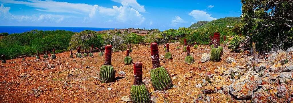 La réserve géologique de la Désirade offre les conditions optimales au développement des cactus et notamment des têtes à l'anglais, caractéristiques de cette zone. Le sol aux teintes rouges illustre la présence importante de pierres de type radiolarites, témoins de l'activité volcanique passée. © Melina Robin, Wikimedia commons, CC 4.0
