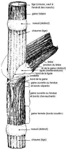 Tige de graminée. © DR