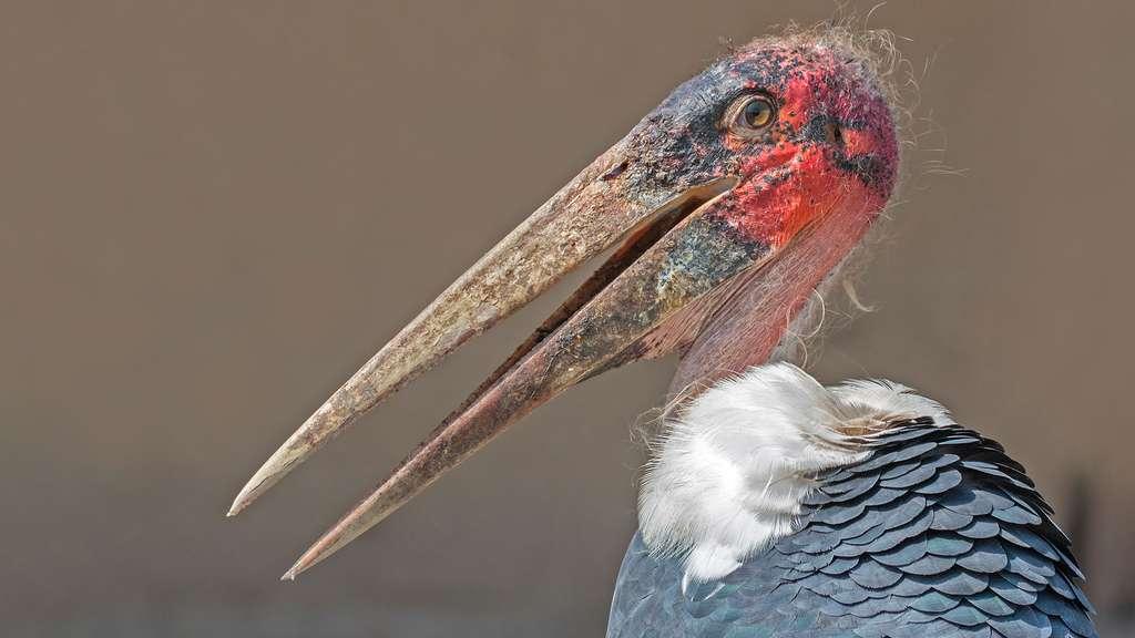 Le marabout d'Afrique, un mélange entre vautour et cigogne