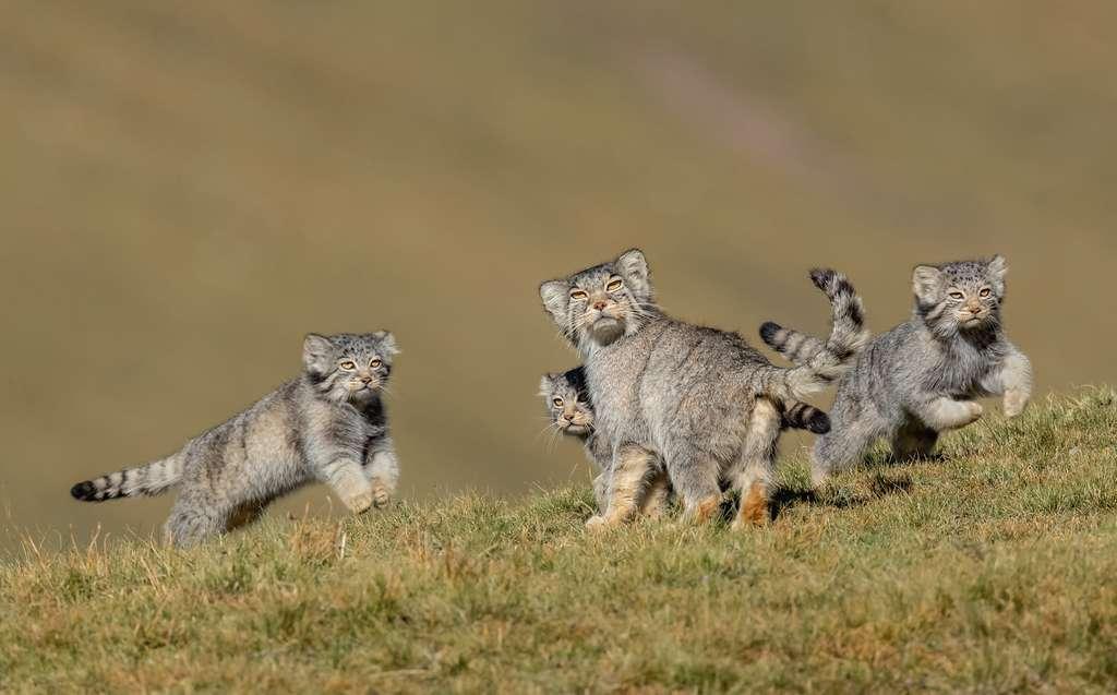 Pour surprendre ces jeunes manuls — ou chats de Pallas —, il aura fallu une fois de plus beaucoup de patience. Ils apparaissent ici tels que rappelés vers leur repaire à l'approche d'un renard tibétain. © Shanyuan Li, Wildlife Photographer of the Year 2020