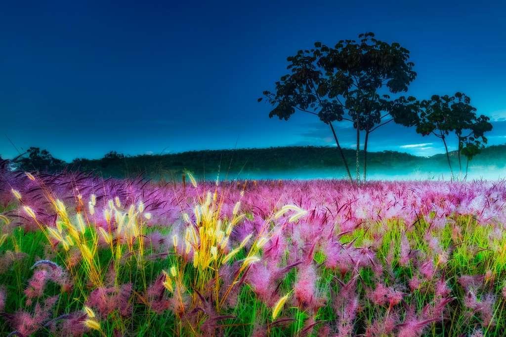 L'herbe dorée du Cerrado