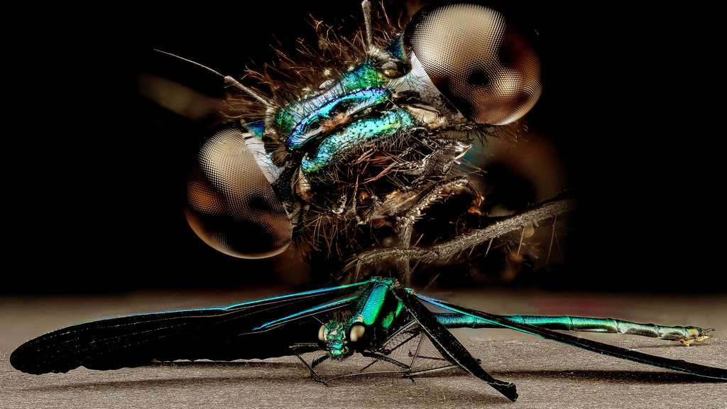 Les yeux de la libellule Calopteryx
