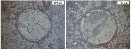 Photographiés au microscope optique en lumière réfléchie, deux spores fossiles de Lycophytes retrouvés dans la Vanoise. Celui de gauche est essentiellement formé de calcite, tandis que celui de droite renferme de la phengite (une forme de mica). © CNRS