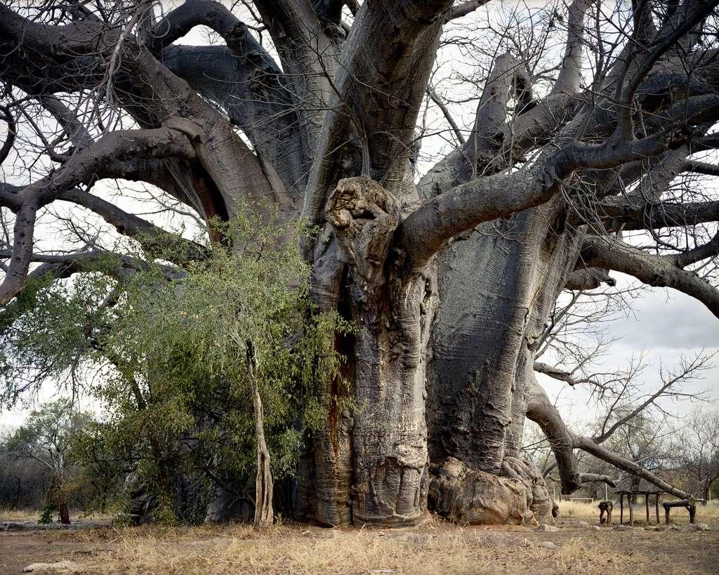 Un baobab de 2.000 ans