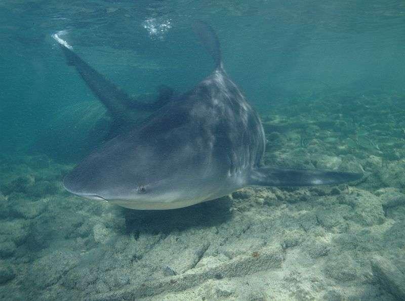 Requin bouledogue. © Albert Kok, domaine public