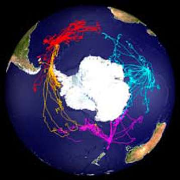 Sur une image satellite centrée sur le continent antarctique sont représentés les voyages des 58 éléphants de mer de l'expérience, entre 2004 et 2005, depuis les îles Kerguelen (en bleu), la Géorgie du Sud (en rouge), les îles Shetland du Sud (en orange) et Maquarie (en rose). © Mamvis SMRU
