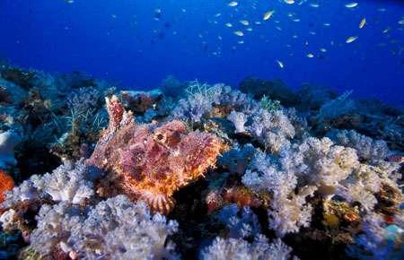 Les récifs coralliens qui longent les côtes de Madagascar abritent des milliers d'espèces. Ce poisson scorpion chasse à l'affût, immobile sur le fond, dans le canal du Mozambique. © Alexis Rosenfeld - Reproduction interdite