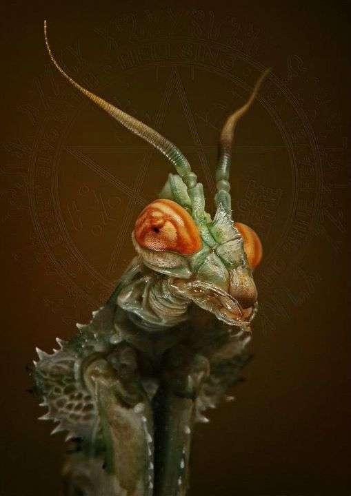 Idolomantis diabolica, un drôle d'insecte