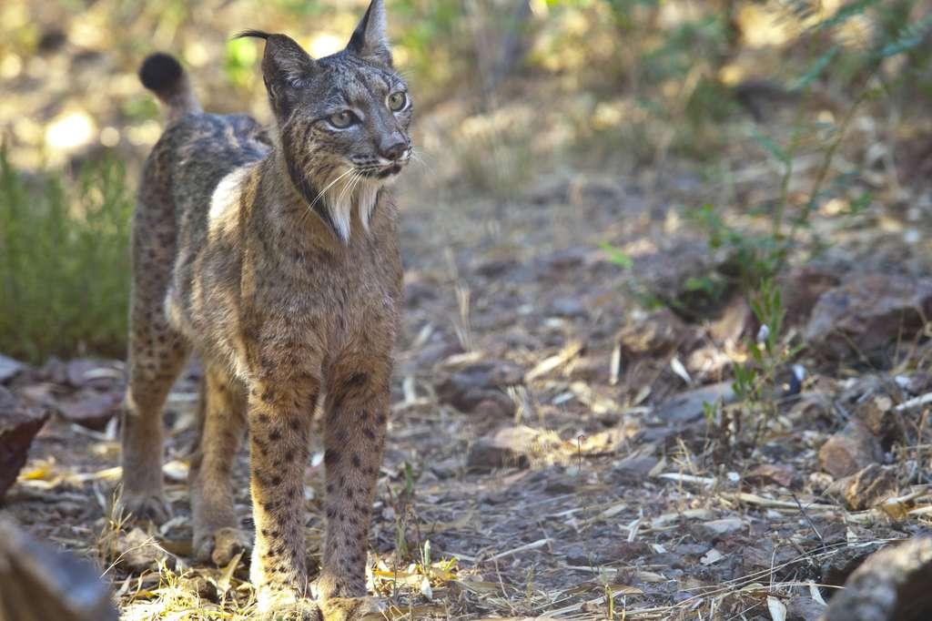 Le lynx pardelle. © juan_aunion, Fotolia