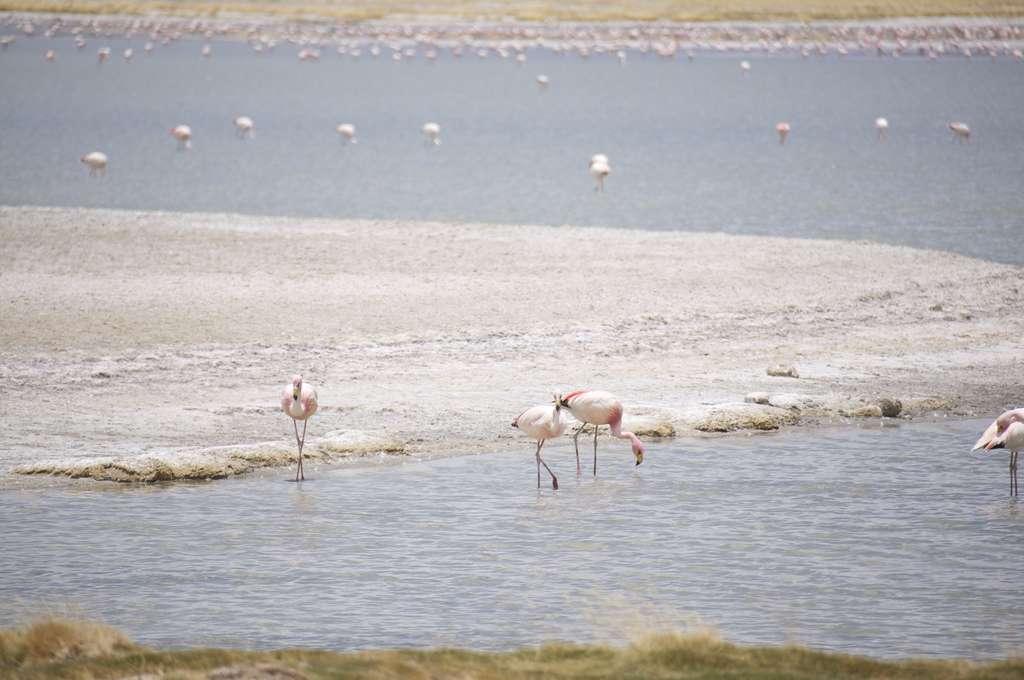 Des flamants roses pêchent en plein désert
