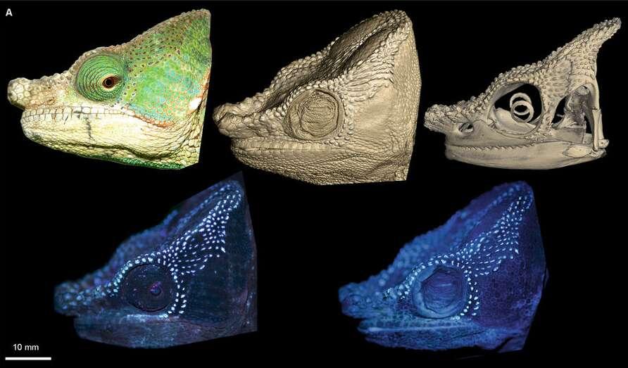 Sur ce caméléon du genre Calumma, on découvre les tubercules osseux responsables de la fluorescence de l'animal. De gauche à droite, sur la rangée du haut : la tête du caméléon à la lumière du soleil puis une tomodensitométrie de la surface de la tête et enfin du crâne. Sur la rangée du bas : la tête d'un caméléon vivant puis celle d'un caméléon mort, toutes deux exposées aux ultraviolets (UV). © David Prötzel, ZSM, LMU