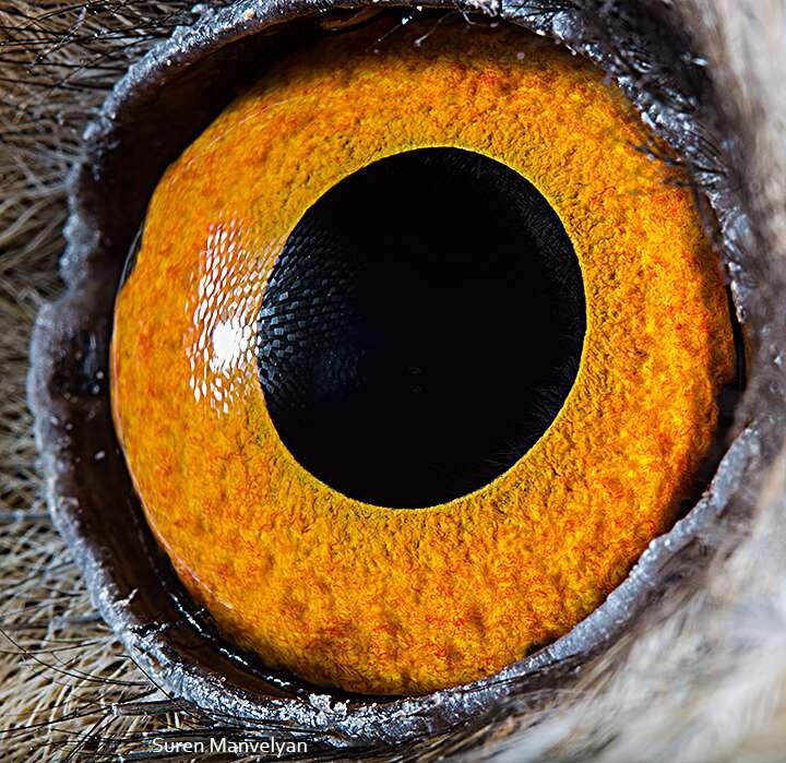 L'œil de prédateur du hibou moyen-duc